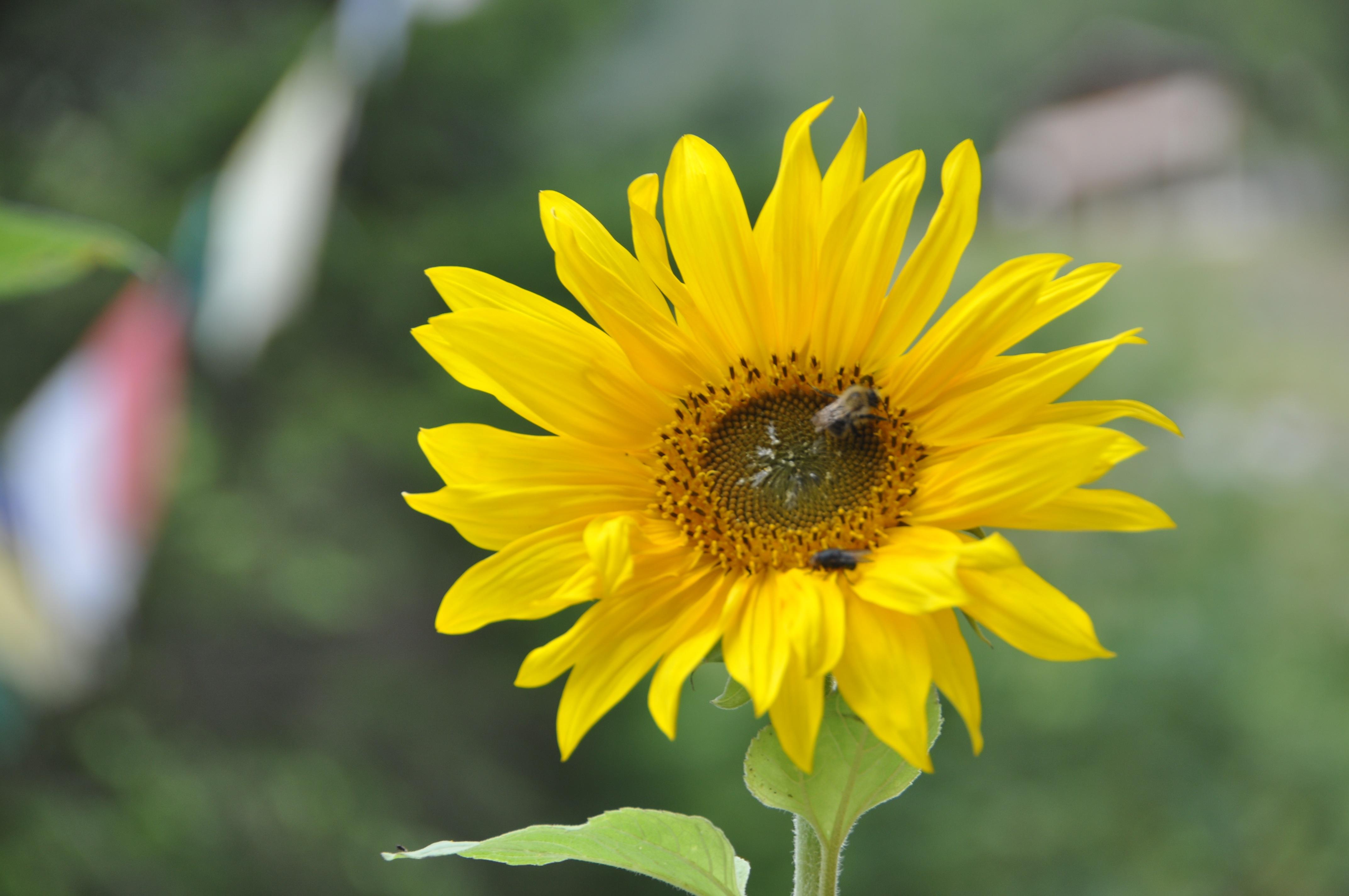 Sonnenblume mit Gebetsfahen